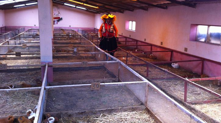 guinea-pig farm Femi Peru
