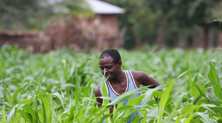 working in the maise field MTakuja, FDK:FTK Tanzania